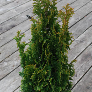Thuja occidentalis 'Degroot Spire'-0