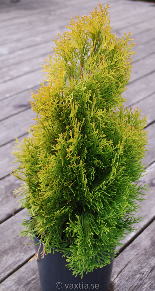 Thuja occidentalis 'Golden Smaragd'-0