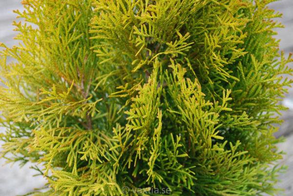 Thuja occidentalis 'Golden Smaragd'-790