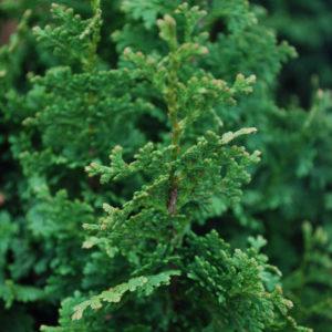 Thuja occidentalis 'Zmatlik'-0