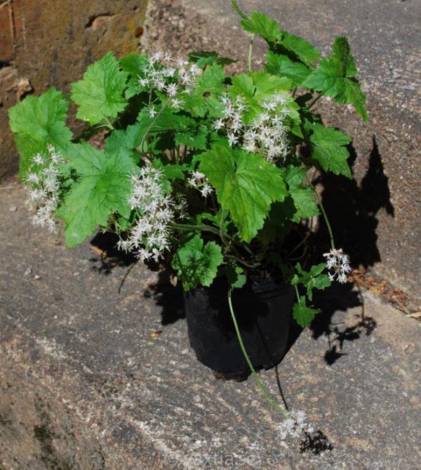 Tiarella cordifolia-1174