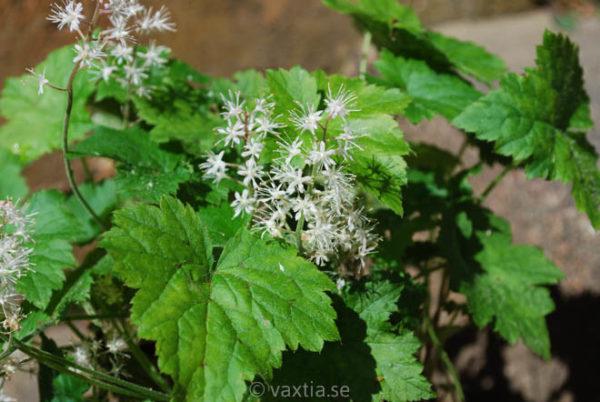Tiarella cordifolia-0
