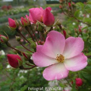 'Valdemar' (R. multiflora) -0