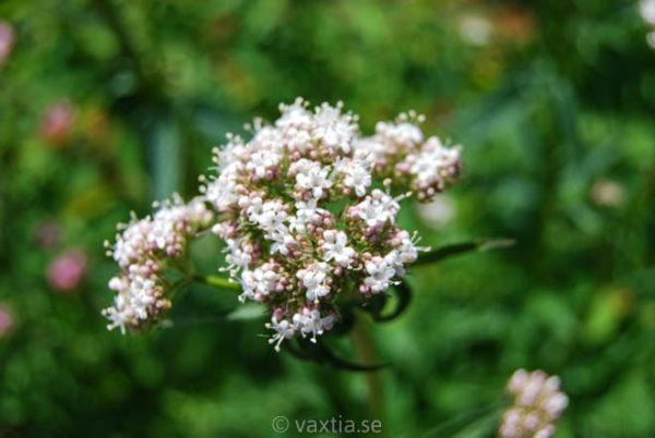 Valeriana officinalis-0