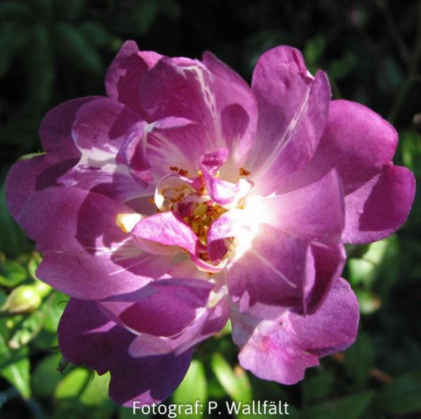 'Veilchenblau' (R.multiflora) -0
