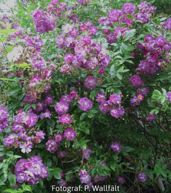 'Veilchenblau' (R.multiflora) -391