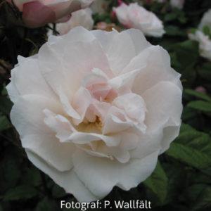 'Venusta Pendula' (R. arvensis)-0