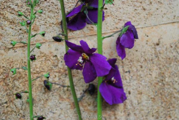 Verbascum phoeniceum 'Violetta'-1690