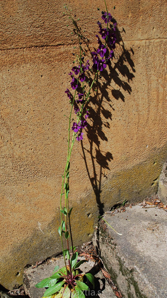 Verbascum phoeniceum 'Violetta'-1689