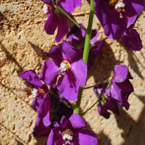 Verbascum phoeniceum 'Violetta'-0