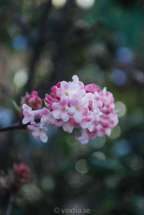 Viburnum bodnantense 'Charles Lamont'-0