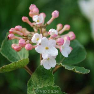 Viburnum carlesii 'Aurora'-0