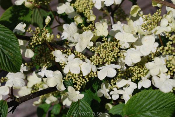 Viburnum plicatum 'Mariesii'-0
