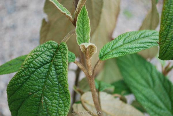 Viburnum rhytidophyllum -882