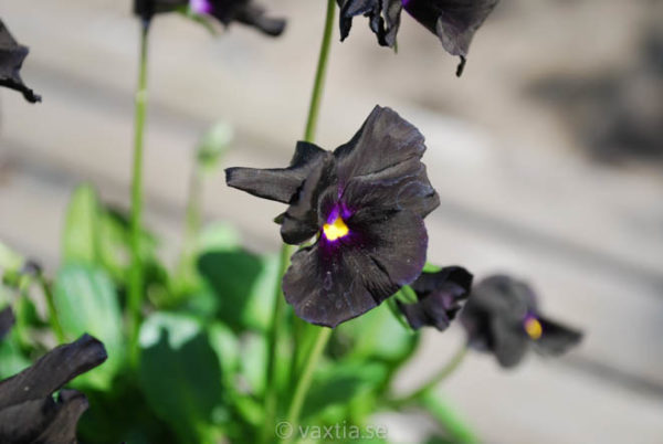 Viola williamsii 'Molly Sanderson'-0