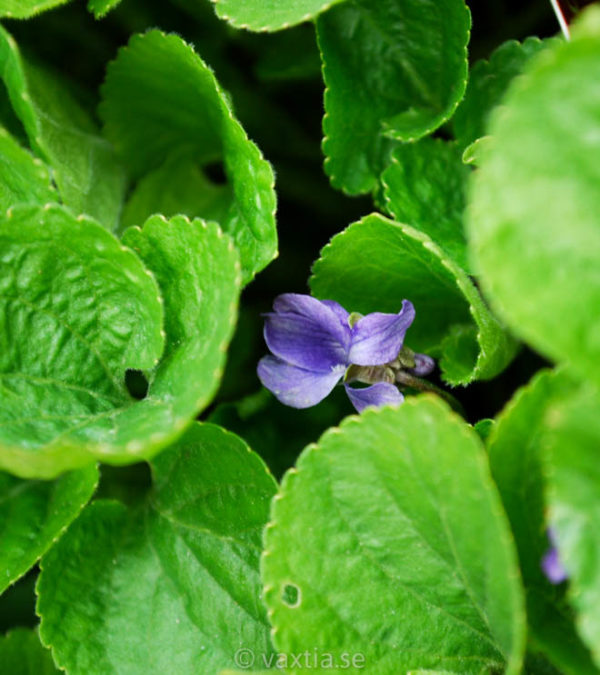 Viola odorata 'Königin Charlotte'-0