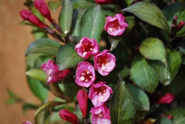 Weigela florida 'Foliis Purpureis'-0