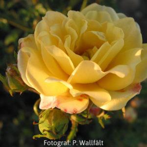 'Yellow The Fairy' (Polyantha)-0