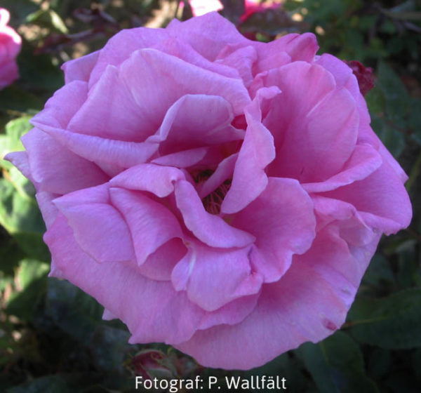 'Zéphirine Drouhin' (Rosa x buorboniana) -404