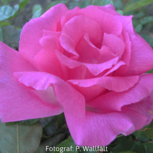 'Zéphirine Drouhin' (Rosa x buorboniana) -0
