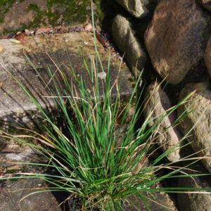 Carex caryphyllea 'The Beatles'-0