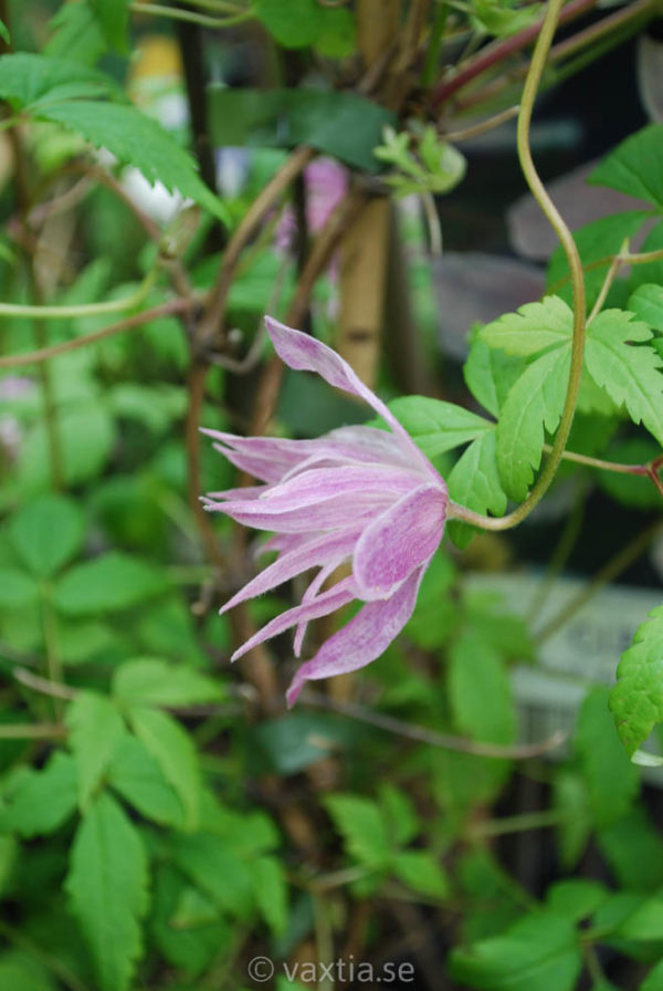 Clematis montana 'Fragrant Spring''-933