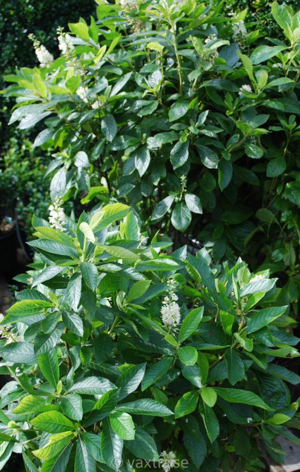 Clethra alnifolia-1996