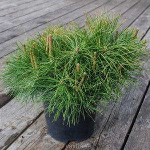 Pinus mugo var pumilio FK Sauherad-0