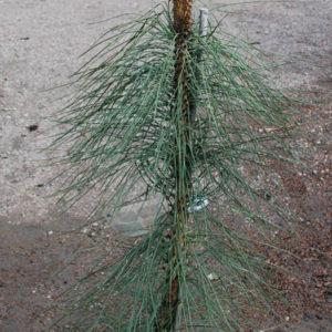 Pinus ponderosa 'Pendula'-0