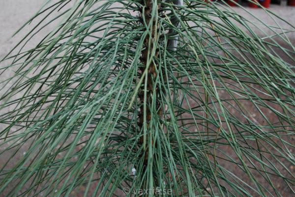 Pinus ponderosa 'Pendula'-760