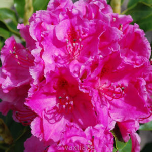Rhododendron 'Claudine'-0