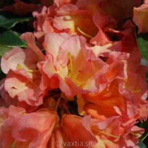 Rhododendron 'Orange Flirt'-0