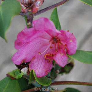 Rhododendron orbiculare-0