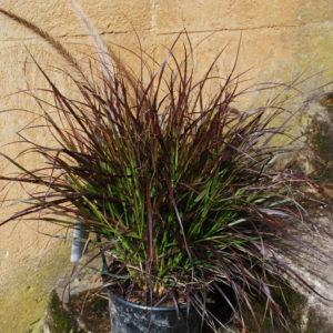 Pennisetum - Lampborstgräs
