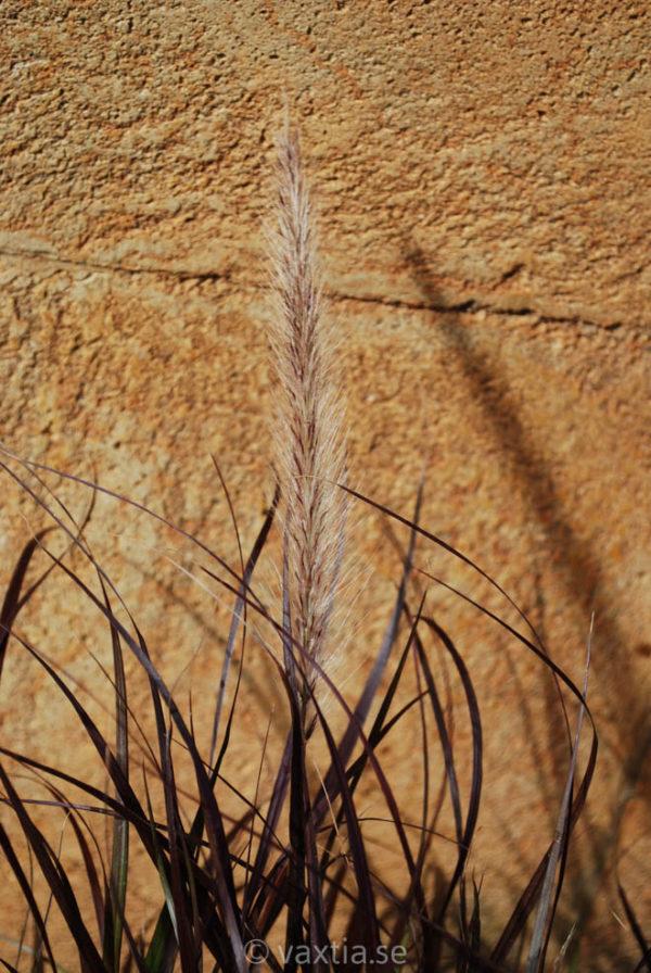 Pennisetum setaceum 'Rubrum'-1930