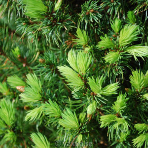 Picea glauca 'Conica Compacta'-0