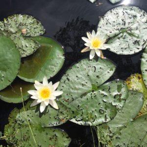 Vattenväxter